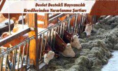 Devlet Destekli Hayvancılık Kredilerinden Yararlanma Şartları